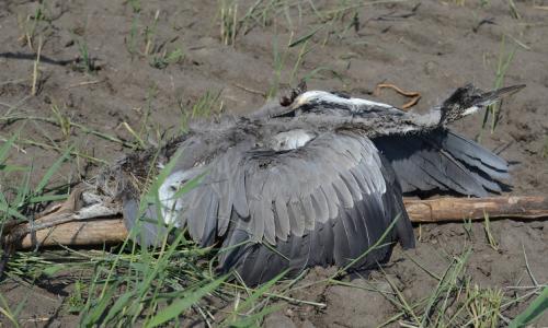 Кого в Троицке «объели» цапли? Зоозащитники бьют тревогу: живодёры вышли на охоту
